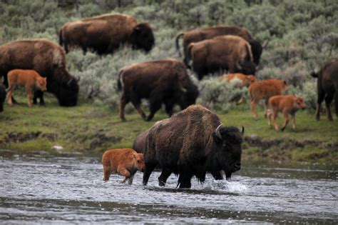 A Start Date for the Bison Invasion of North America - The