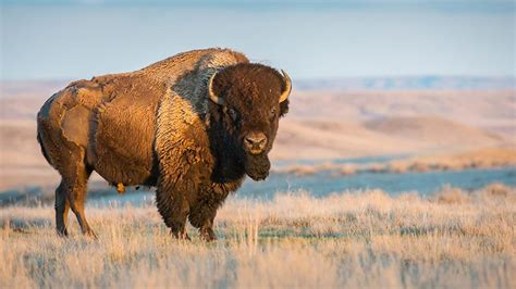 800-pound bison does 'happy dance' to celebrate first day
