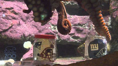 Rocky the Octopus predicts Super Bowl 46 winner - YouTube