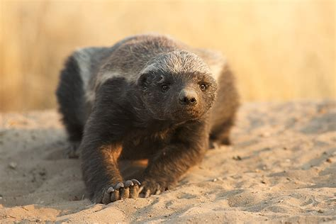 Honey badger   The Life of Animals