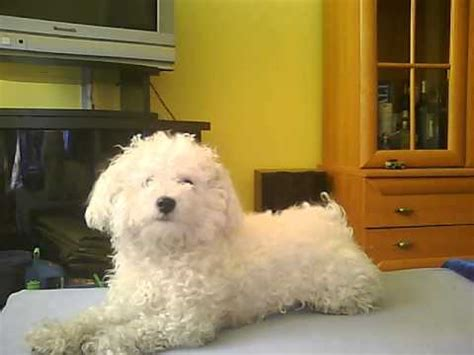 Bichon Bolognese - YouTube