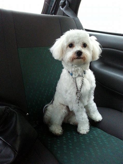 Bichon Bolognese for sale (1 year old) | Southport