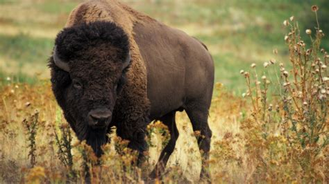 Say Hello To America's New National Mammal: The Bison