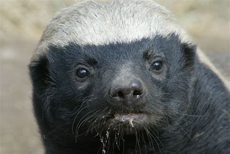 The African Honey Badger, world's most fearless animal