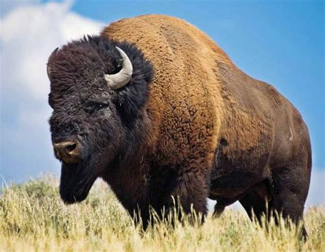 North American Buffalo Extinct | became extinct when there