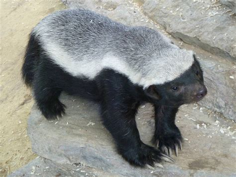 Battle of the badger (52/5)   Diary of a Late Bloomer