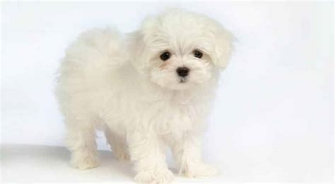 Bichon Bolognese Breed Information: Facts, Pictures