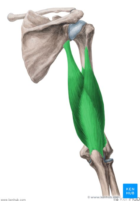 Triceps brachii muscle - Anatomy, Function and Pathology