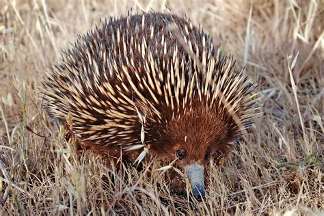 Australian Monotremes - An Overview - InfoBarrel