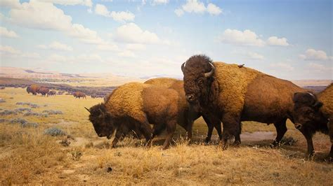 Are Buffalo Extinct? The Surprising Truth