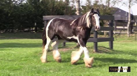 River Rose: Gypsy Vanner Horse for Sale by Gypsy MVP - YouTube
