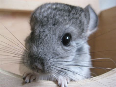Baby chinchilla | One month old chinchilla kit from