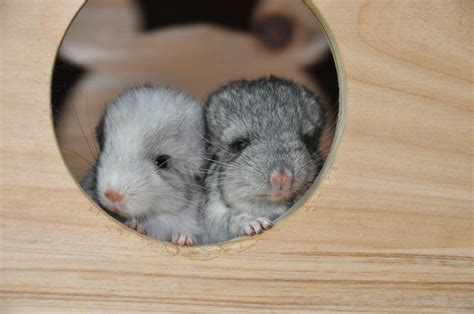 baby chincillas | Baby Chinchillas | Cute | Pinterest