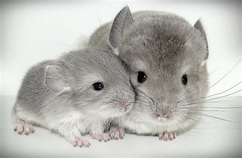 Baby Chinchilla – Chinchilla loving blog